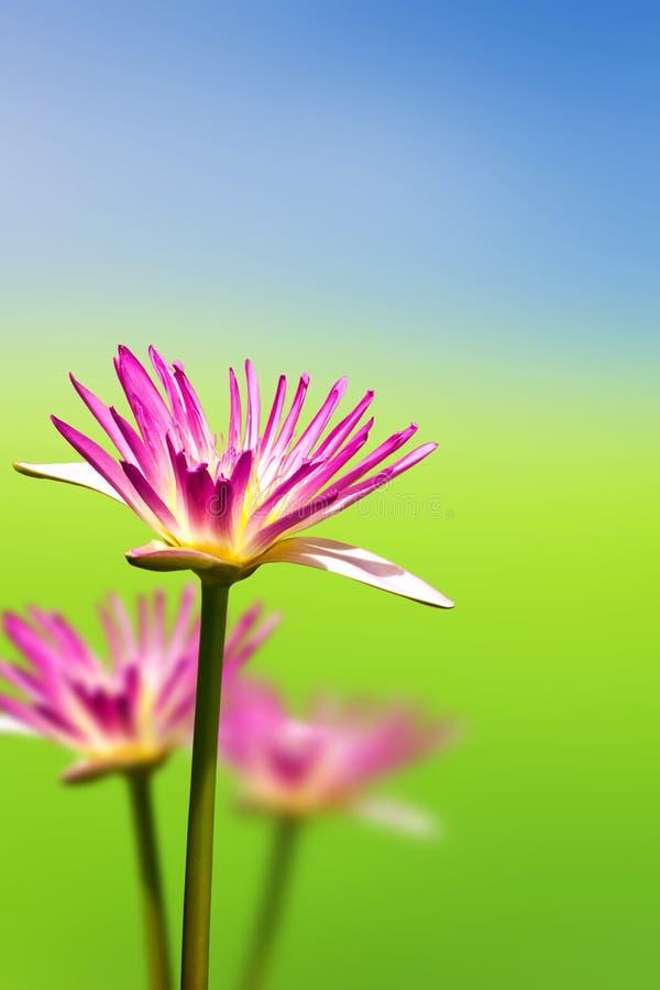 Download Blommalotusblommapink fotografering för bildbyråer. Bild av detalj - 19798497