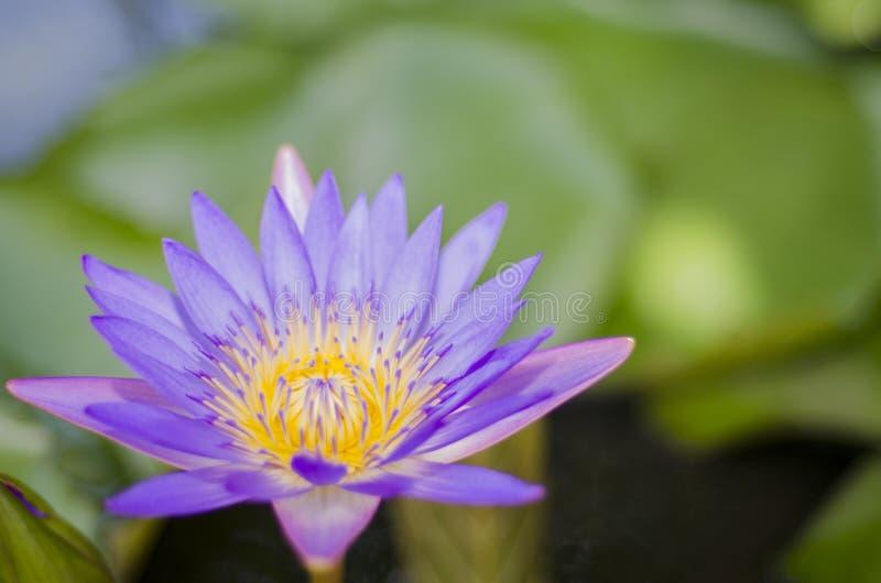 Blommalotusblommaviolet arkivfoton