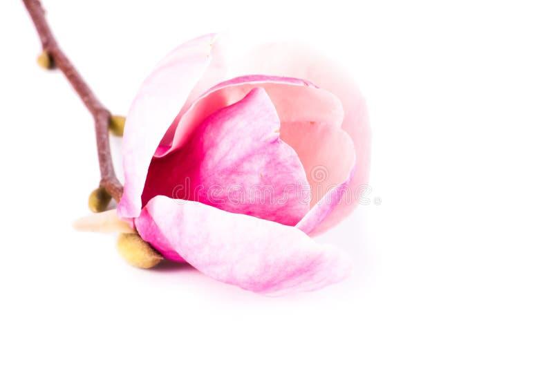 Blommamagnolia som isoleras på vit bakgrund royaltyfri bild