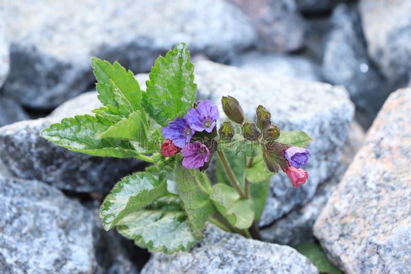 Blomman ?r p? stenen, f?delsen av ett nytt liv i mycket sv?ra villkor royaltyfri foto
