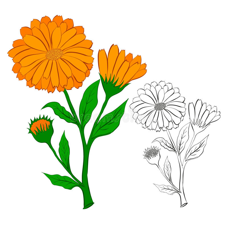 Download Blomman av calendulaen vektor illustrationer. Illustration av floror - 76701303