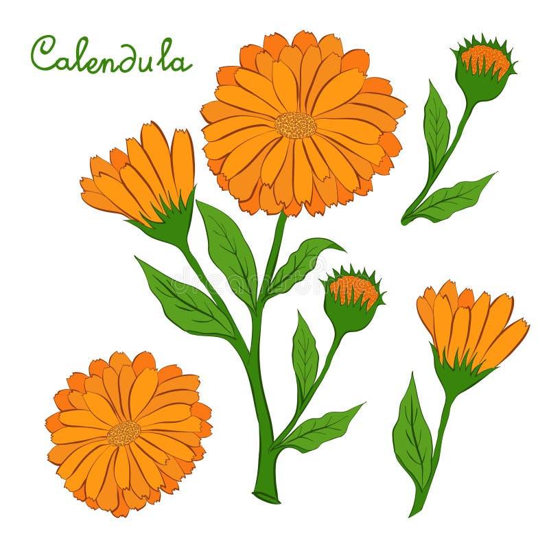 Download Blomman av calendulaen vektor illustrationer. Illustration av färg - 76701354