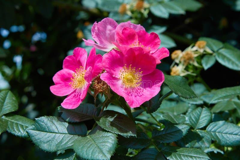 Blomman av den livliga rosa hund-rosen Rosa caninaen som växer i naturen Hipshop, rosa färg steg höfter, arkivbilder