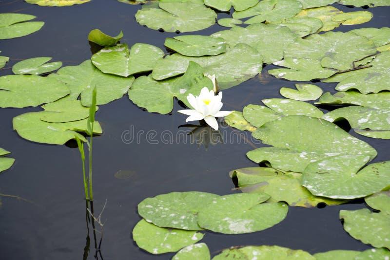 Blomman av den vita kubyshen i den gamla pripyaten Reflexionen bevattnar in lilly water arkivfoto
