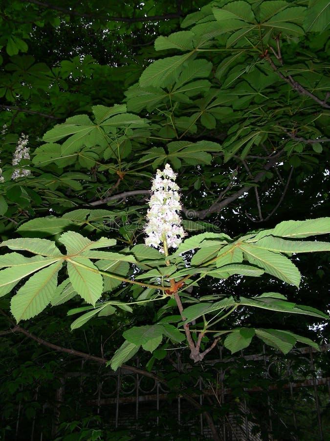 Blomman av en kastanj är liknande till en stearinljus från blommor royaltyfria bilder