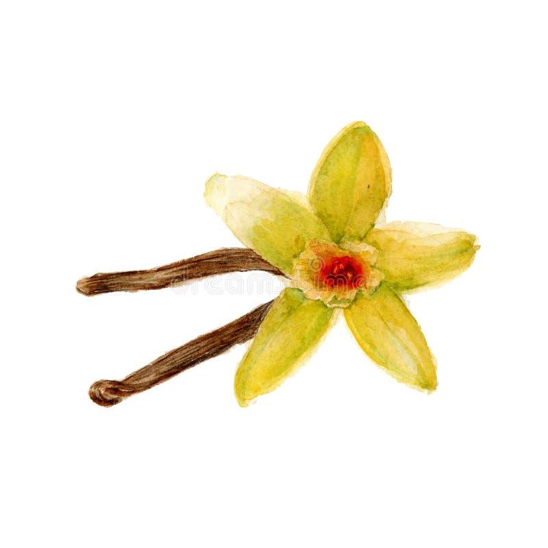 Blomman av vanilj två pinnar av vanilj vattenfärg royaltyfri illustrationer