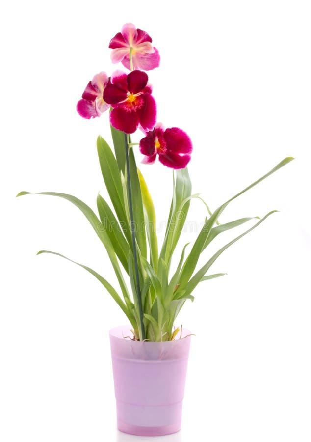 blomman blommar miltoniaorchidorchids arkivfoto