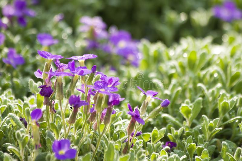 blomman för aubrietaclippingdff blommar bilden isolerad banafjäderwhite arkivfoto