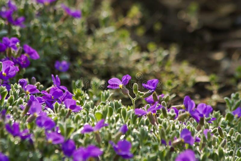 blomman för aubrietaclippingdff blommar bilden isolerad banafjäderwhite arkivbild