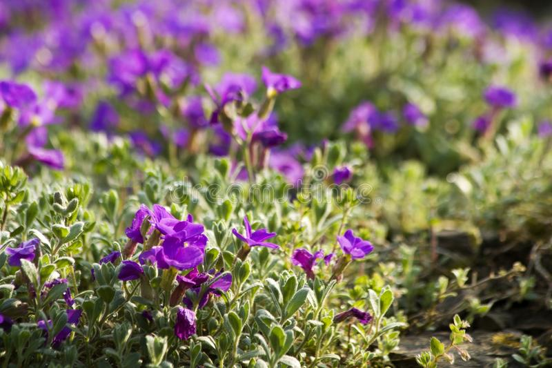 blomman för aubrietaclippingdff blommar bilden isolerad banafjäderwhite royaltyfri foto