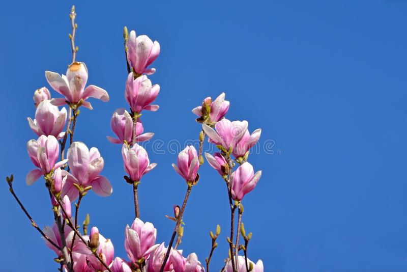 Blomman för tefatmagnolian blomstrar på träd i den tidiga våren som är främst av klar blå himmel royaltyfri bild