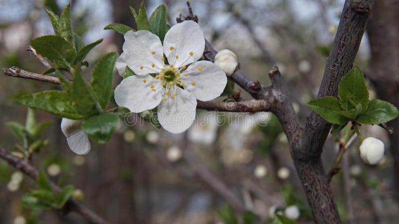 Blomman guppar, att öppet på värmen av vårsolen fotografering för bildbyråer