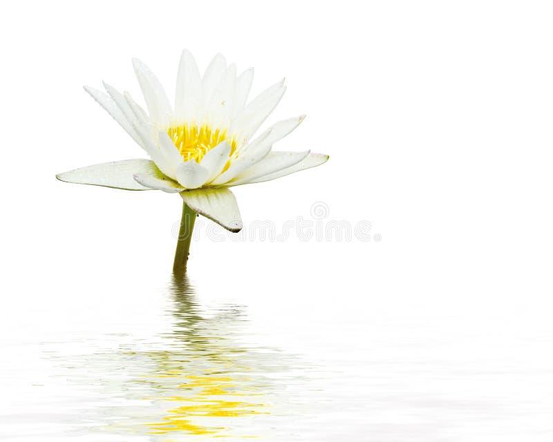 blomman har vattenfärger för bild för I-lotusblomma jag själv vita målade arkivfoton