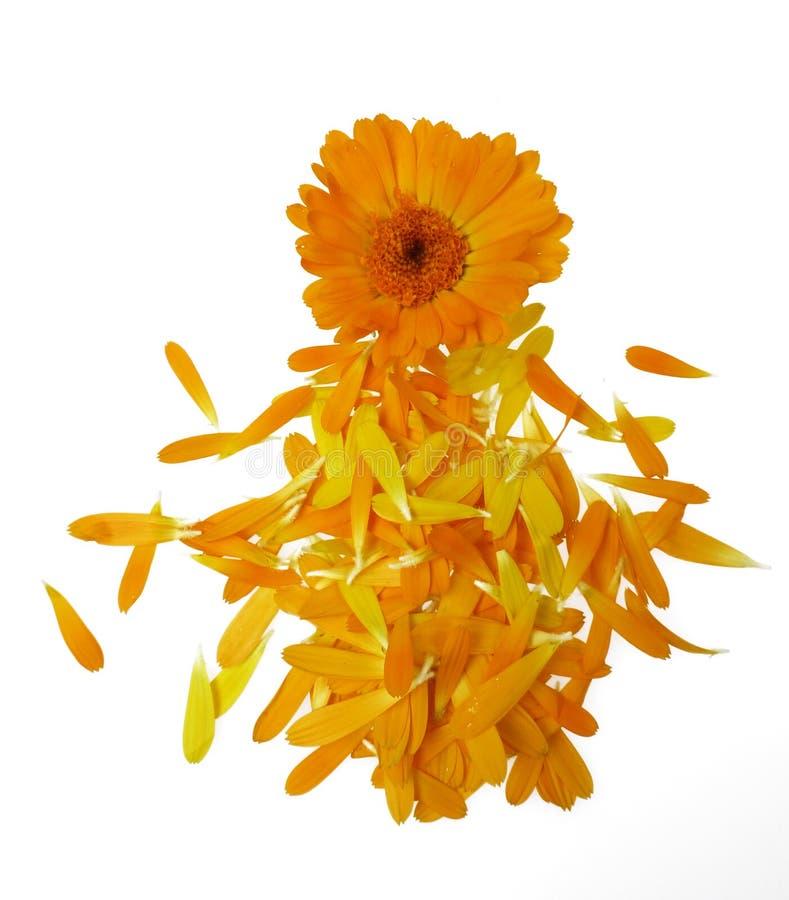 blomman isolerade ringblommakrukan arkivbild