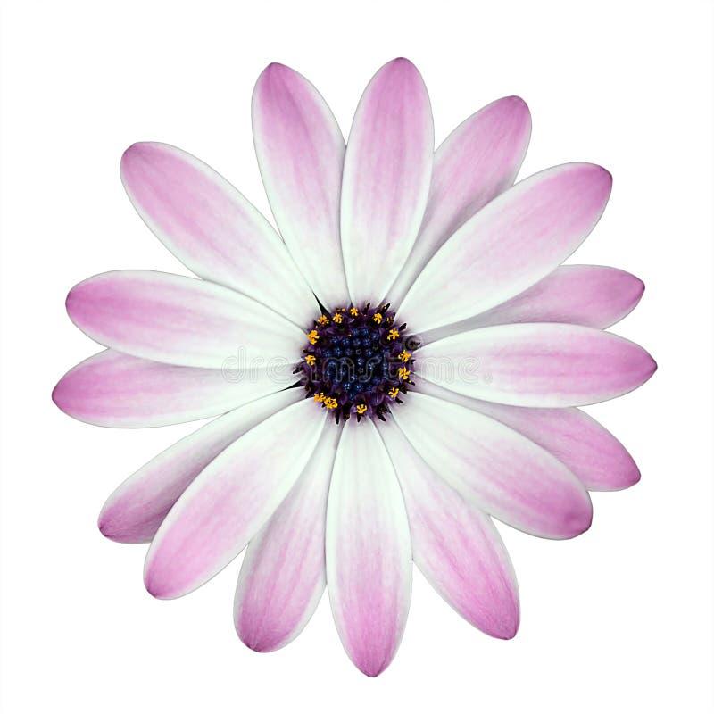 blomman isolerade rosa white för osteosperumum arkivfoto