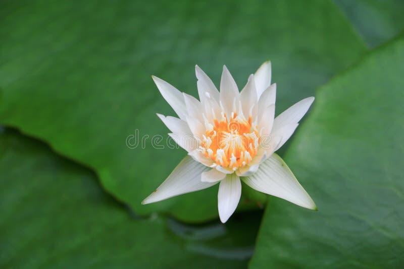 blomman låter vara lotusblomma royaltyfri fotografi