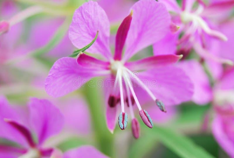 Blomman med pollenet av mjölkörtnärbilden arkivbild