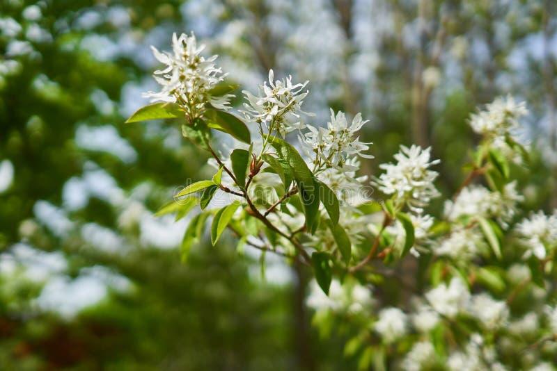 Blomman på fransträdet i den Pyunggang botaniska trädgården royaltyfria foton