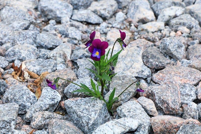 Blomman på stenen, födelsen av ett nytt liv i mycket svåra villkor royaltyfri bild