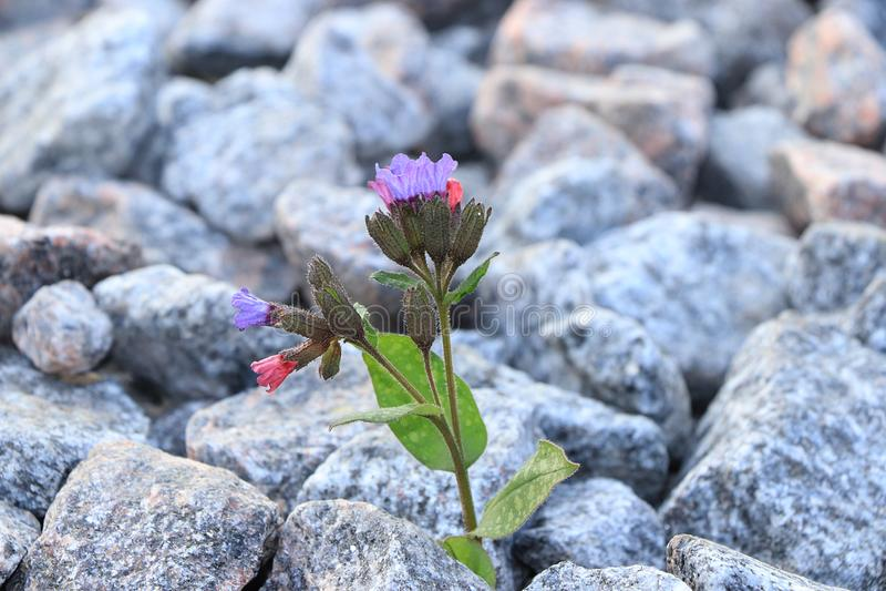 Blomman ?r p? stenen, f?delsen av ett nytt liv i mycket sv?ra villkor royaltyfri fotografi