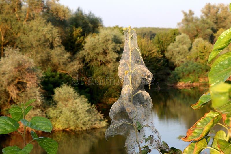 Blomman som täckas i spindlar, bygga bo i den Strymonas floden, Serres Grekland Hösten landskap arkivbild