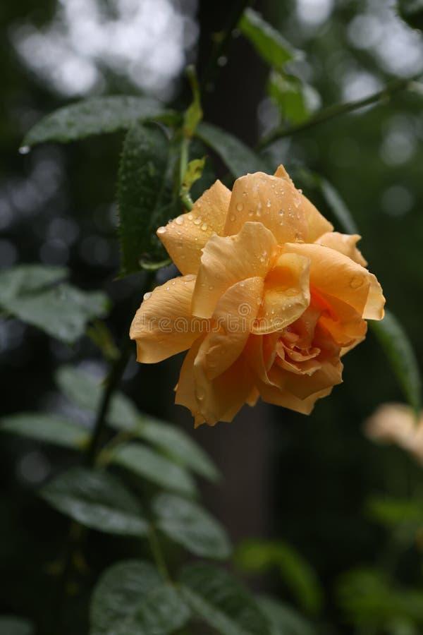 blomman steg den gula naturliga knoppen för busketrädgården arkivbilder