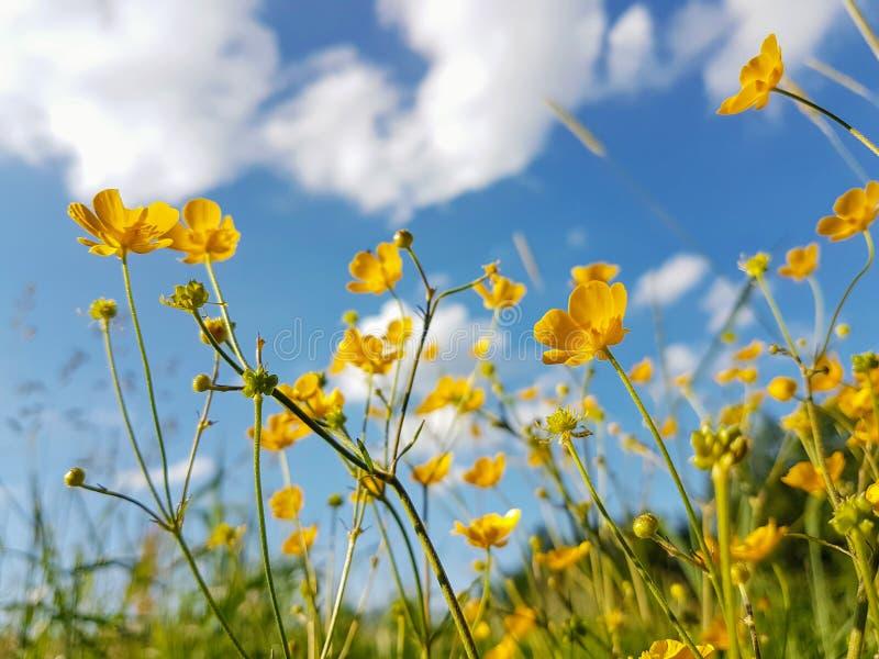 Blommande äng och blå himmel fotografering för bildbyråer
