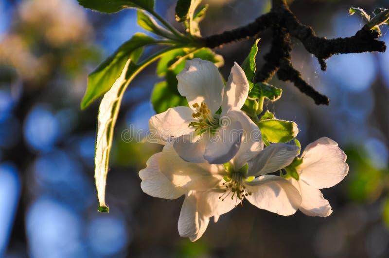 Blommande äppleblommor, filialer i varmt solnedgångsolljus färgar arkivfoton