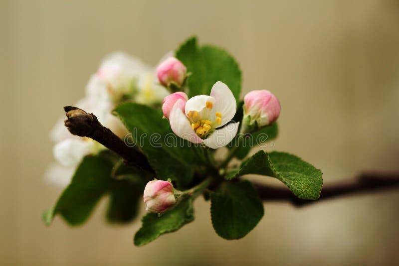 Blommande äppleträd som isoleras på träbakgrund fotografering för bildbyråer
