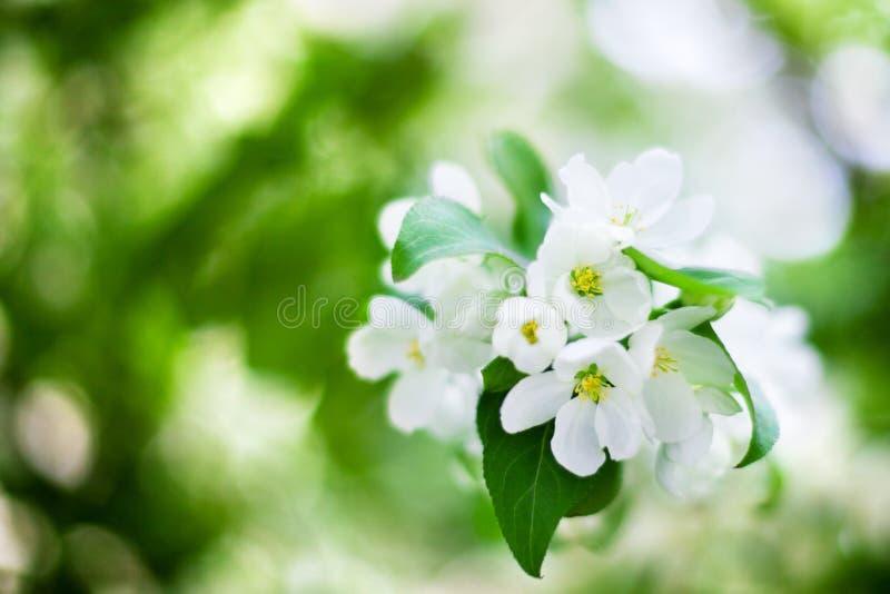 Blommande äppleträdfilial med vita blommor på för bokehbakgrund för gröna sidor suddigt slut upp, vit gruppmakro för körsbärsröd  royaltyfria foton