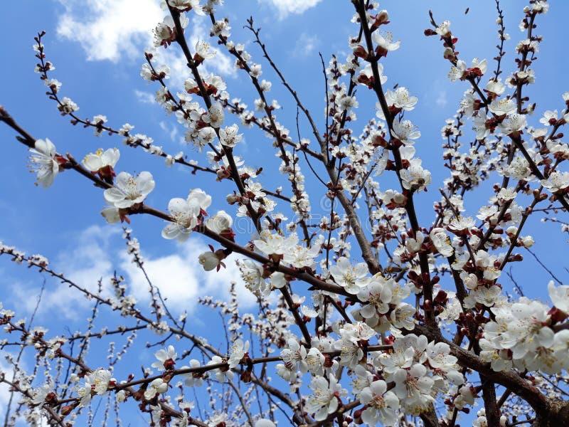 Blommande aprikosträd under blå himmel med moln arkivfoto