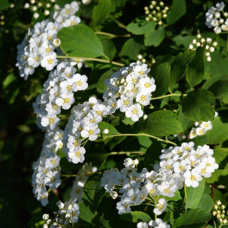 Blommande buske av spirea blommar liten white royaltyfria bilder