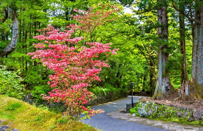 Blommande buske på den Nikko arvplatsen royaltyfri fotografi