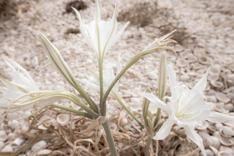 Blommande Colchicum med skal i bakgrunden arkivbild
