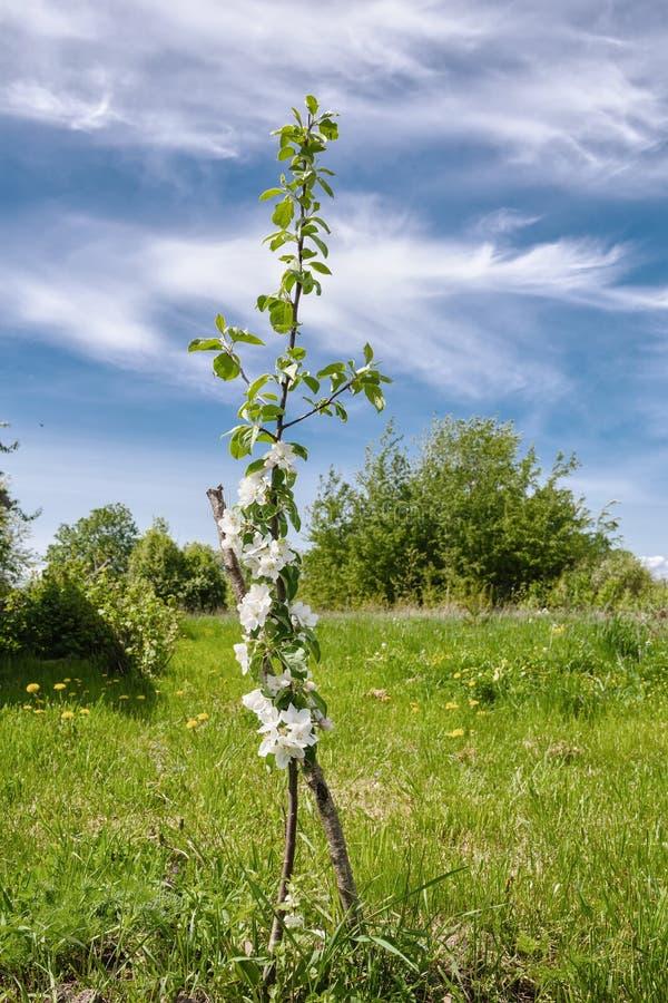 Blommande columnar formApple träd i mitt av ängar royaltyfria foton