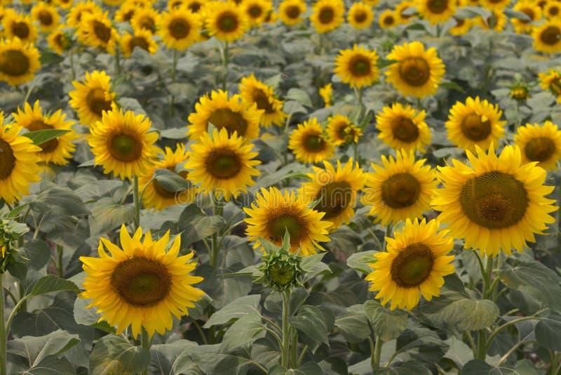 Blommande dämpade färger för solrosor äng Gula solrosor med den gröna sidacloseupen fält l solrosor arkivfoton
