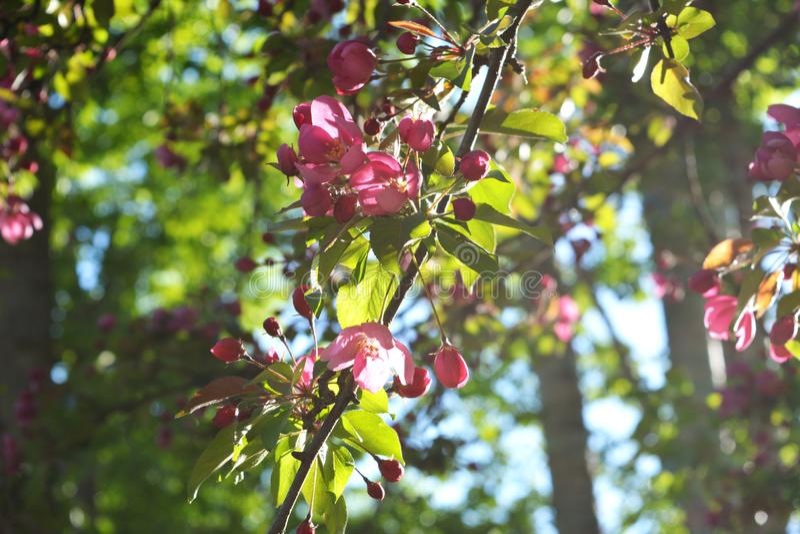 Blommande dekorativt äppleträd Den ljusa rosa färgen blommar i solig dag fotografering för bildbyråer