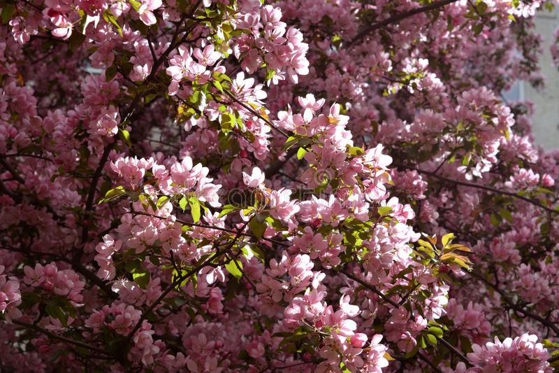Blommande dekorativt äppleträd Malus Niedzwetzkyana royaltyfri bild