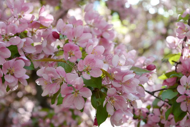 Blommande dekorativt äppleträd Rosa färgen blommar i vårdag arkivfoto