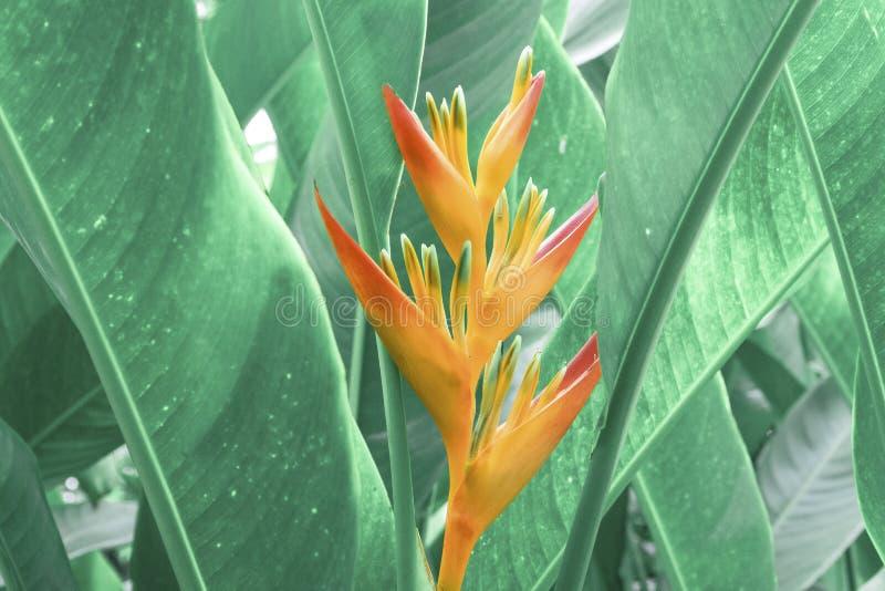 Blommande fågel av paradisblomman med grön bladbakgrund arkivbilder
