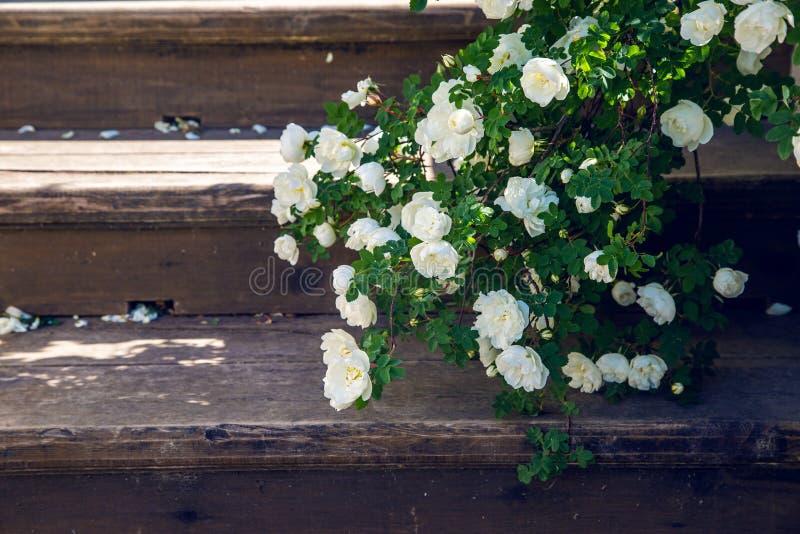 Blommande fallande filialer för vita rosor på trätrappa arkivfoton