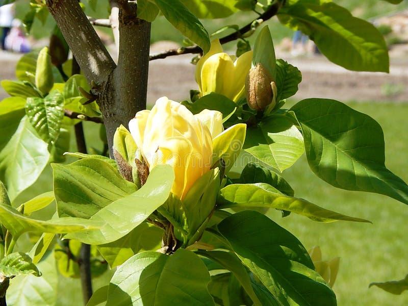 blommande filial av ett magnoliaträd med gula stora blommor royaltyfri foto