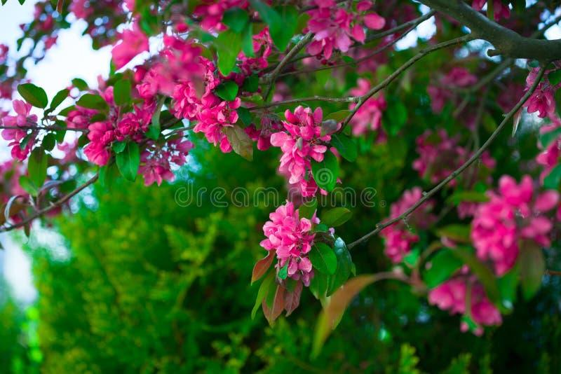 Blommande filial av ett rosa äpple på soligt väder royaltyfri foto