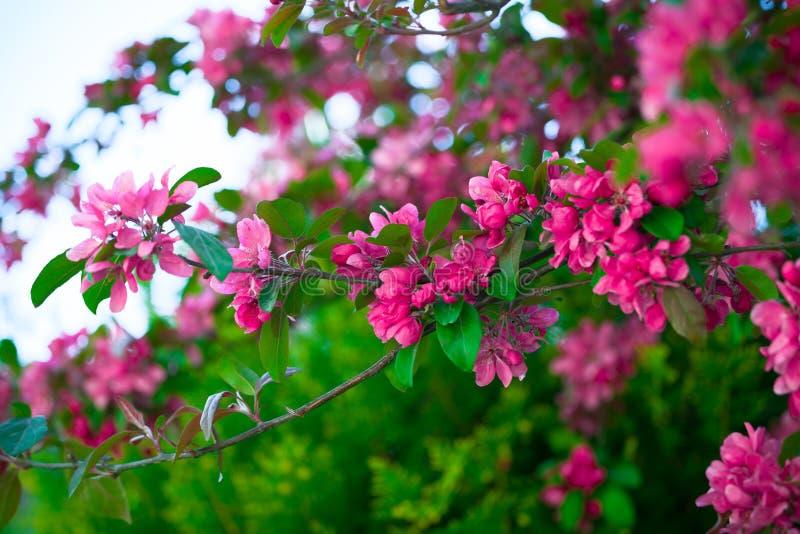Blommande filial av ett rosa äpple på soligt väder royaltyfri bild