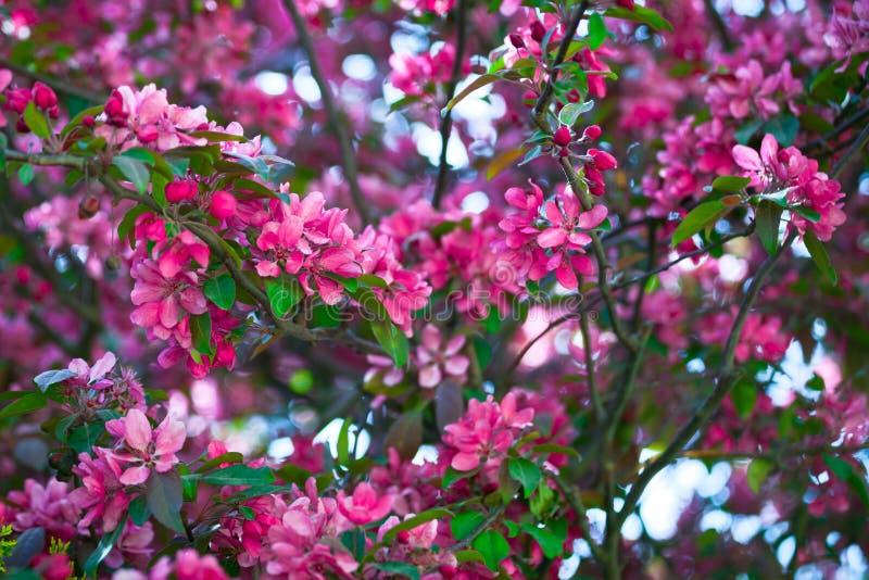 Blommande filial av ett rosa äpple på soligt väder arkivfoto