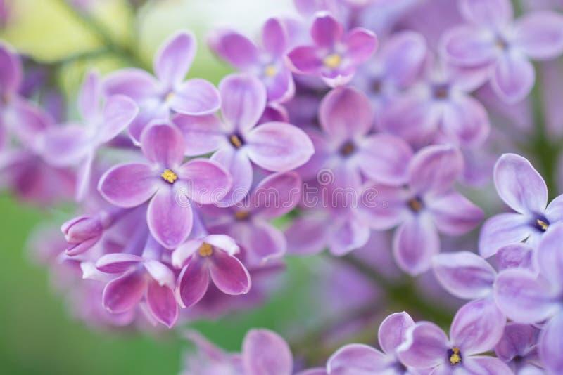 Blommande filial i vår Closeupmakroen av blommande lila lilor blommar med suddig bakgrund royaltyfria foton