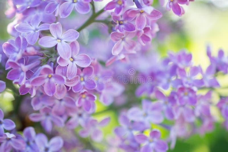 Blommande filial i vår Closeupmakroen av blommande lila lilor blommar med suddig bakgrund vektor för detaljerad teckning för bakg arkivfoto