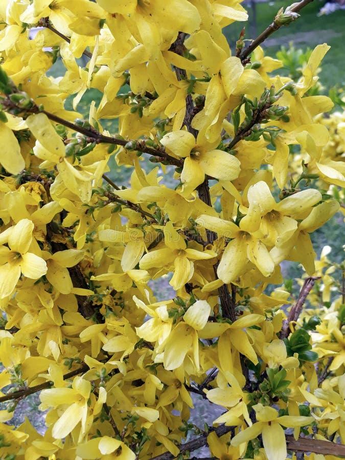 Blommande forsythia Intermedia med ljus guling fjädrar tidigt blommor royaltyfria bilder