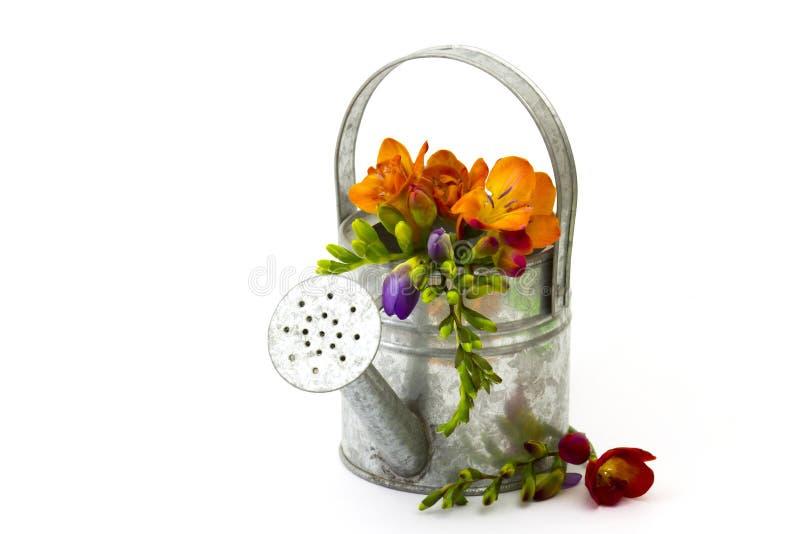 Blommande freesia i bevattna kan royaltyfri fotografi
