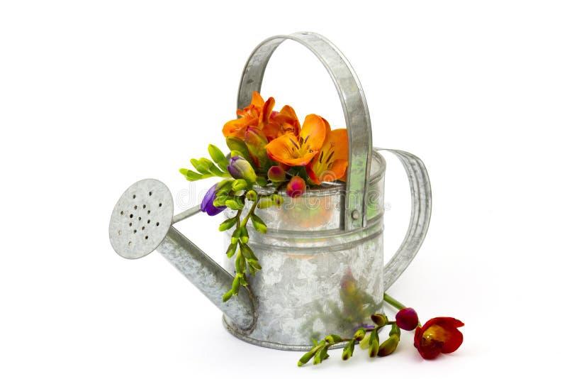Blommande freesia i bevattna kan royaltyfria foton